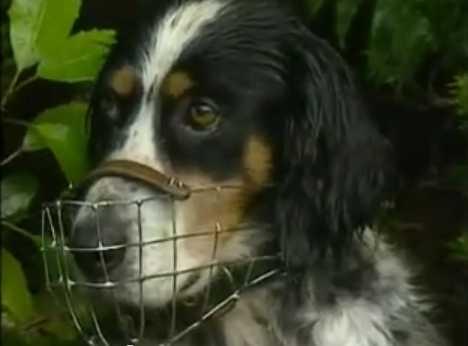 Собака помогает сохранить редкий вид птиц