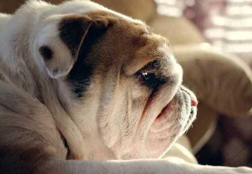 bulldog-is-missing-something