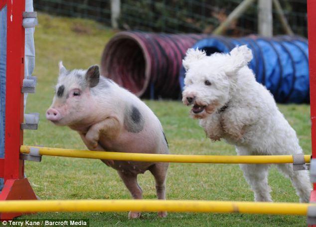 Поросенок Луи любит аджилити, как и его друзья-собаки!