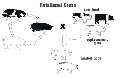 Система разведения свиней на мясо, когда хряки 3 разных пород покрывают стадо свиней по-очереди: один раз используют одного производителя, затеи другого, третьего.