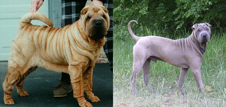 Две собаки породы шар-пей: первая - экстремального разведения, скорее всего имеющая заворот век, проблемы с кожей и муциноз. Вторая собака лишена этих недостатков.