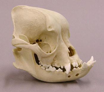 брахицефалический череп