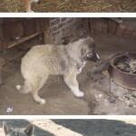 Сложные отношения волков и кавказских овчарок
