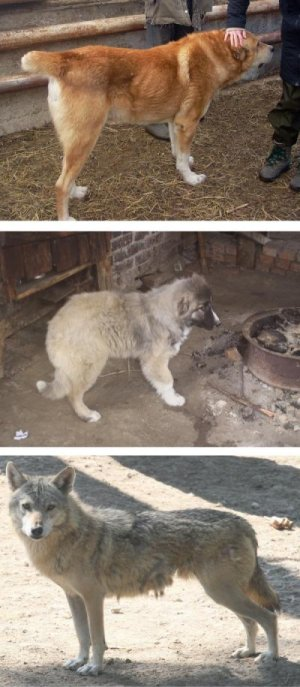 кавказская овчарка волк