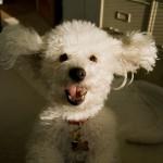 Почему моя собака прыгает на людей?