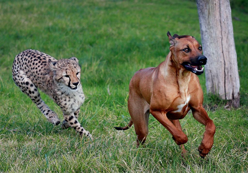 собаки и гепарды