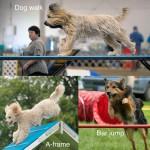 Травмы у спортивных собак в аджилити