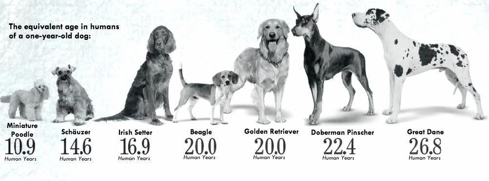 возраст собак разных пород