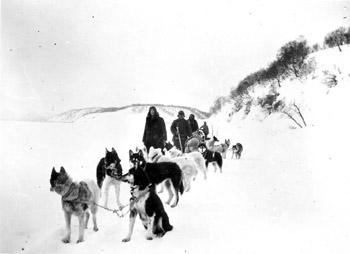 Аборигенные камчатские ездовые собаки. финская экспедиция, 1920-е гг.