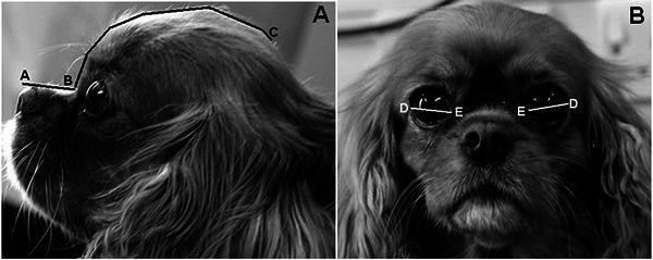 Измерения: A-B - длина морды, B-C - длина черепа.