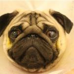 Особенности брахицефалических пород и язва роговицы у собак