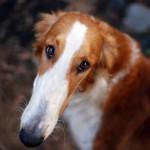 Преимущества и риски кастрации собак и кошек