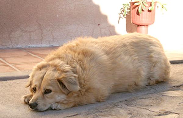 собака ожирение