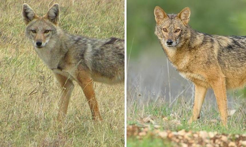 Африканский золотистый волк (слева) и обыкновенный шакал (справа).