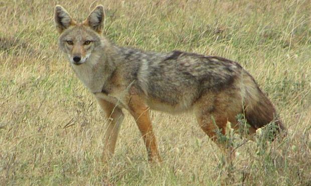 Африканский золотистый волк (Canis anthus)