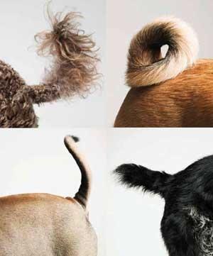 хвост собак