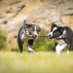 Почему собаки играют?