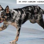 Новые данные о генотипах и фенотипах мерля у собак