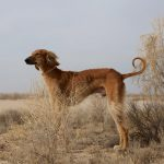 Ключевое генетическое новшество собак: диета