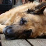 Различаются ли породы собак по болевой чувствительности?