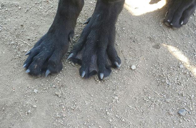 перепонки на лапах у собаки