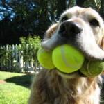 Теннисные мячи опасны для собачьих зубов