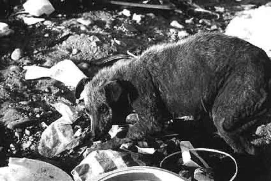 Постоянный обитатель тихуанской свалки. Эта собака неопределенного происхождения и внешне, и образом жизни подобна первоначальным собакам-комменсалам. (фото из книги Лорна Коппингер, Раймонд Коппингер «Собаки. Новый взгляд на происхождение, поведение и эволюцию собак»