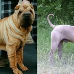 Действительно ли дворняги и дизайнерские породы здоровее породистых собак?