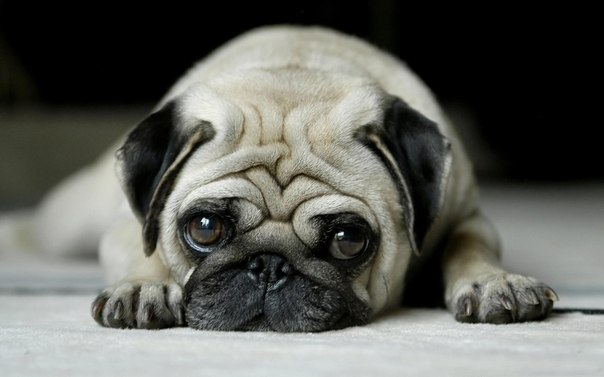 http://dogdiary.ru/wp-content/uploads/2013/09/mops.jpg