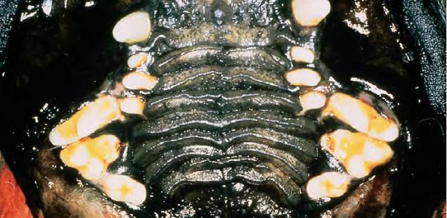 зубы брахицефала