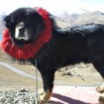 Тибетские мастифы имеют гены адаптации к горам
