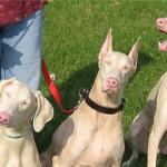 У собак нашли ген альбинизма, схожий с человеческим