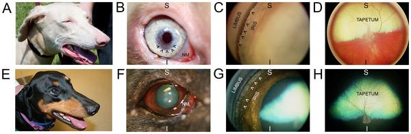 глаза доберманов