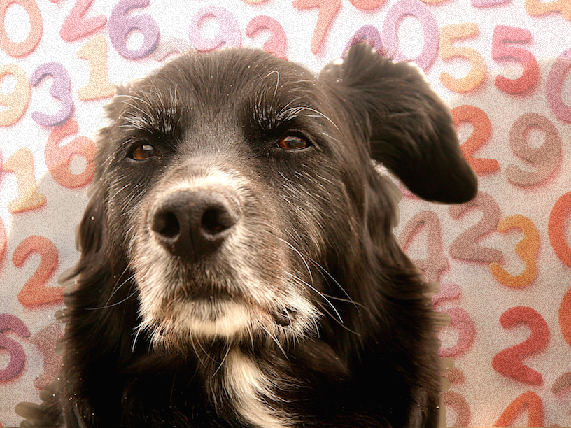 самая старая собака лабрадор Белла