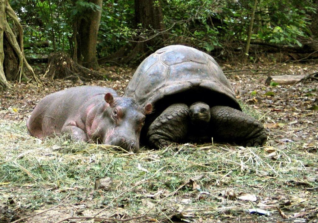 черепаха и бегемотик