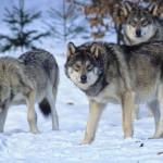 Убийство волков - неэффективный способ защиты скота