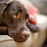 Эффект плацебо у собак