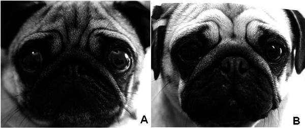 Различия между высоким и более низким риском развития язвы роговицы у мопса.