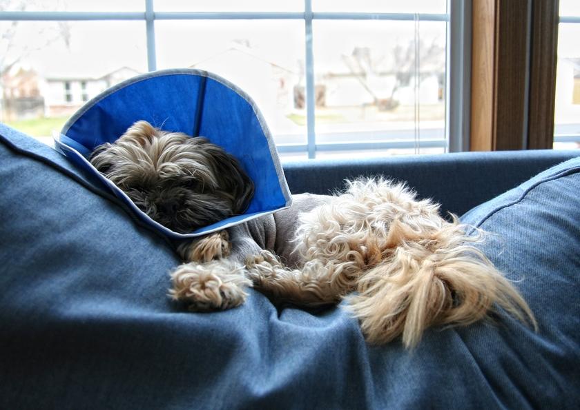 собака после операции
