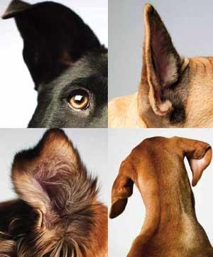 уши собак