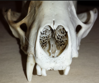 череп собаки