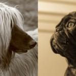 Могут ли собаки узнавать друг друга «в лицо»?