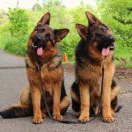 Подвержены ли собаки влиянию местной культуры?
